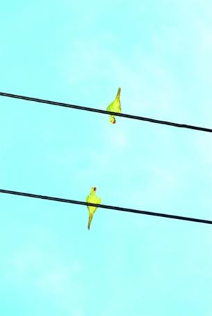 DYoshinori Mizutani 'Tokyo Parrots', 2013. Courtesy of IBASHO